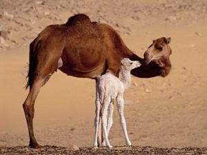 [Image: camel-baby.jpg]